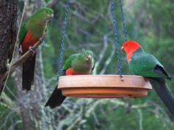 King parrots at Kirima Cottages self contained cabin accommodation in Mudgee